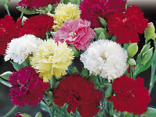 FLOWER CARNATION CHABAUD MIXED 700 FINEST SEEDS