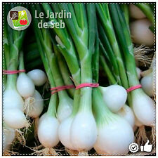 100 Graines d'oignon blanc de Paris