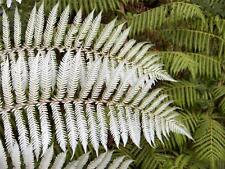 NZ Silver Tree Fern (Cyathea Dealbata) 1000 Spores