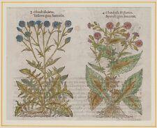 JOHN GERARD BOTANICA MATTHIOLI ORIGINALE 1597 LATTUGACCIO CHONDRILLA LUTEA