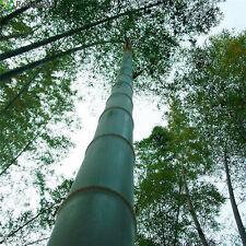 100 Graines de Bambou Géant MOSO - Phyllostachys Pubescens
