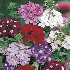 30 VERBENA HYBRIDA SEEDS Florist Mixture Trailing Flower Hanging Basket UK Post