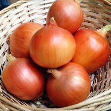 ( Short day ) Texas Early Grano onion 250 seeds * NON GMO * ez grow *CombSH I53