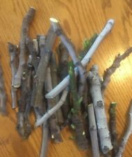 FIG TREE CUTTINGS Black Mission  5  CUTTINGS ficus carica.