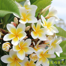 Annual 30Pcs Egg Flower Seeds Plumeria Garden Plant