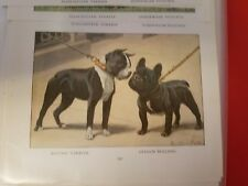 Louis A Fuertes Boston Terrier & French Bulldog from 1919 National Geographic