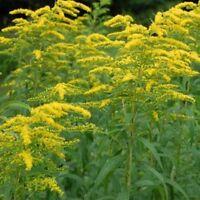 Solidago- Goldenrod- 100  seeds