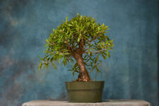 Full Canopy on Fine Ficus '89 Pre-Bonsai Tree! Hardy Tropical, Dense Canopy!