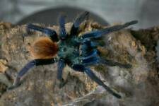 Greenbottle Blue Chromatopelma cyaneopubescens 5-6cm LIVEFOOD