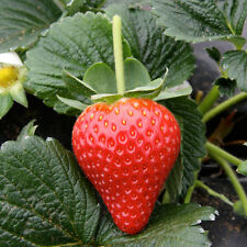 Delicious*GIANT*Strawberry🍓50-Finest Seeds🍓FOUR Seasons🍓3-5kg ONE Plant🍓UK