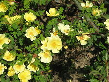 10 Yellow MANCHU ROSE Bush Canary Bird Rosa Xanthina Hummingbird Flower Seeds