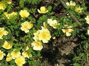 10 Yellow MANCHU ROSE Bush Canary Bird Rosa Xanthina Hummingbird Flower Seeds