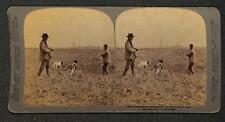 QUAIL SHOOTING IN THE STUBBLE HUNTING DOGS GUN BARKER STEREOVIEW PHOTO 1892 **