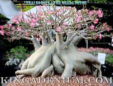 "ADENIUM THAI SOCOTRANUM DESERT ROSE "" CHADA PETCH "" 10 SEEDS FRESH RARE BONSAI"