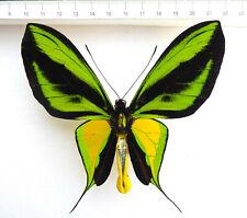 Ornithoptera paradisea ssp.sabinae ex Nabire,120mm wingspan!!!! O6-06