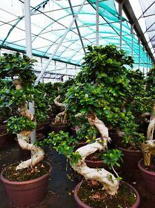Bonsai S-shape - Albero - Piante Ornamentali - Pianta bonsai - Ficus  PiantaMia