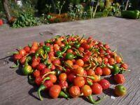 Brasilianische Mini sehr Scharfe Paprika Balkon  20 Samen Saatgut