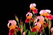 Giant Carmen Dutch Iris 2 Bulbs Great Cut Flower Seeds Garden Yard Plants Bonsai