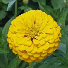 ZINNIA Dahlia Flowered Canary Bird Seeds (F 79)