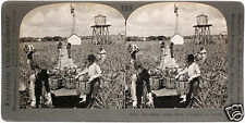 Keystone Stereoview Harvesting Pineapples in FLORIDA from 1910's Education Set