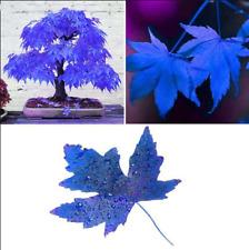 Rare Japanese Blue Maple Tree Seeds Exotic Species Bonsai Tree Plant Seed 20 Pcs