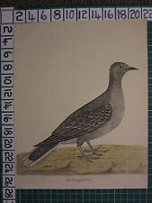 c1735 THE PORTUGAL DOVE ~ ANTIQUE BIRD PRINT ELEAZER ALBIN ~