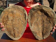 Gigantic 10 inch Trilobite Fossil positive and negative pair
