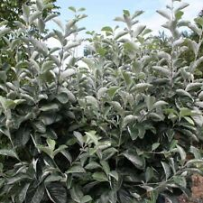 Sorbus aria Lutescens Tree 12 litre Pot British Grown