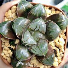 7cm muscle Haworthia Comptioniana Succulent live Plant Home Garden Flower pot