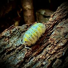 Armadillidium Vulgare 'Magic Potion' x10 Isopod woodlice clean up crew bioactive