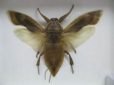 Een echte exotische insect in een houten doos - Water Bug in 3D Box - Taxidermy