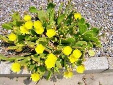 New listing Two Eastern Prickly Pear Cactus Plants - Opuntia humifusa - cold hardy
