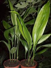 Aspidistra elatior, Schusterpalme, 60-70cm, 7-8 Blätter, bis -12°C !