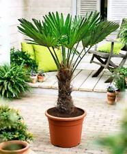 Trachycarpus wagnerianus Frostharte Hanfpalme circa 100 cm großer Stamm bis -18