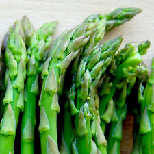 Viking KB-3 Asparagus - 2 Year Old Plants Crowns Roots  Bare Root - 25 Count