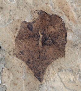 Eozän  Lygodium sp.  Schizaeaceae  Kletterfarn  Green River  Colorado  USA  DG-8