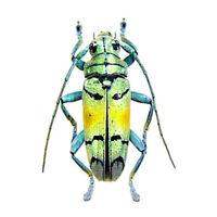 Tmesisternus rafaelae blue green longhorn beetle Indonesia unmounted packaged