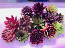 8 Sempervivum(hens and chicks cuttings), Succulents, Rock Garden, Hens n chicks