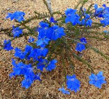 Blue Lechenaultia Seed  Really Blue Drought & Frost Hardy Evergreen Groundcover