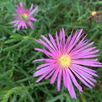 20 Cuttings Ice Plant Pretty Lavender/Purple Ground Cover Succulent Flower