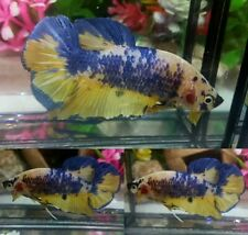 Yellow Fancy Giant Plakat Male - IMPORT LIVE BETTA FISH FROM THAILAND