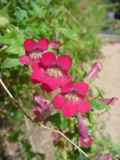 SNAPDRAGON VINE ROVING SAILOR HUNDREDS OF FLOWERS RARE IN CULTIVATION 30 SEEDS
