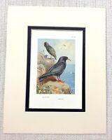 Vintage Uccello Stampa Thorburn's Ornitologia Storno Chough Fauna Selvatica Art