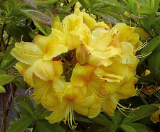 Gartenazalee Golden Sunset Rhododendron luteum 30-40cm Frühlingsblüher