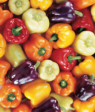 200 x Mixed Peppers Capsicum Chilli Seeds Colourful Varieties