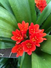 2 x Clivia Miniata - RED seeds. UK National Collection holders