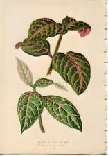 1869 vintage POLKA DOT PLANT LEAVES original chromlithograph botanical