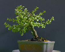 DWARF BABY JADEVARIGATED  BONSAI TREE  GREAT FOR BEGINNERS JADE LARGE