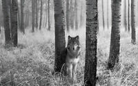 Framed Print - Black & White Wolf Standing in the Wood (Picture Poster Animal)