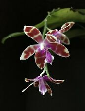 Orchid Phal Phalaenopsis Mariae X self (species). NOT in Bloom. FRAGRANT. Lot A.
